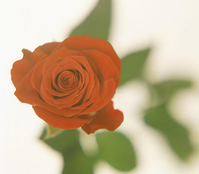 Comprar rosas